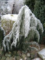 Можжевельник Хорстманн зимой