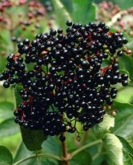 Бузина черная Блек Бьюти® плодоношение
