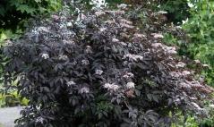 Бузина черная Блек Бьюти® (Sambucus nigra Black Beauty®)