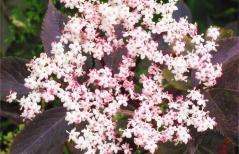 Бузина чорна Блек Бьюті® квіти