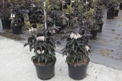 Sambucus nigra Black Tower ® в контейнере