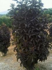 Бузина черная Блек Товер ® (Sambucus nigra Black Tower ®)