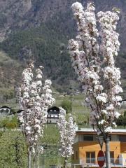 Вишня/Сакура мелкопильчатая Аманогава (Prunus serrulata Amanogawa)