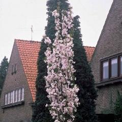 Вишня мелкопильчатая Аманогава (Prunus serrulata Amanogawa)