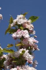 Вишня (Сакура) мелкопильчатая Amanogawa цветение