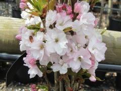 Вишня (Сакура) мелкопильчатая Amanogawa цветы