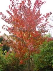 Вишня (Сакура) дрібнопильчата Аманогава осінь