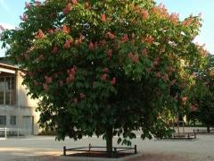 Каштан конский розовый Бриоти