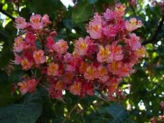 Каштан конский Бриоти (Aesculus carnea Briotii) цветение