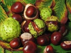 Aesculus carnea Briotii плоды