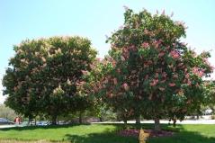 Каштан кінський рожевий Бріоті