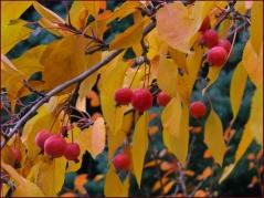 Яблоня райская осенью