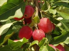 Яблоня райская (Malus Paradise Apple)
