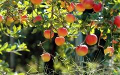 Яблоня райская (Яблуня райська)