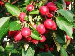 Яблоня декоративная райская