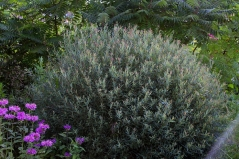 Ива пурпурная Грацилис/Нана <br>Верба пурпурна Грациліс/Нана <br>Salix purpurea Gracilis/Nana