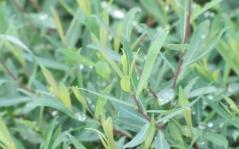 Верба пурпурна Nana листя