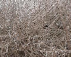 Ива Gracilis зимой