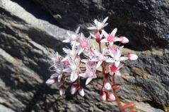 Седум белый Аtropurpureum цветение