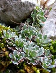 Saxifraga paniculata Argenteomaculata