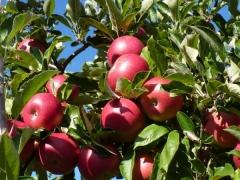 Яблоня домашняя Айдаред (зимняя) <br>Яблуня домашня Айдаред (зимова) <br>Malus domestica Idared