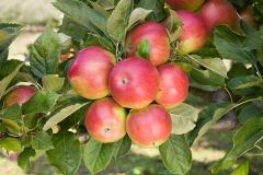 Яблуня домашня Айдаред