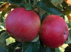 Яблоня домашняя Idared