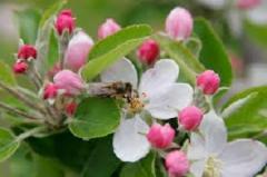 Яблуня домашня Idared