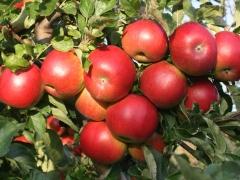 Яблоня Idared
