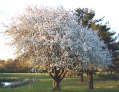 Яблоня домашня Гала