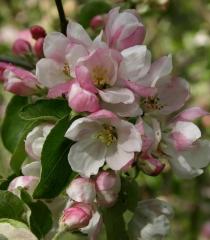 Яблуня домашня Гала цветение