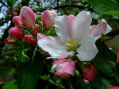 Яблуня домашня Голден Делішес цвітіння