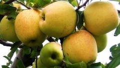 Яблуня Голден Делішес