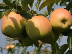 Яблоня Golden Delicious