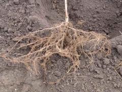 Яблуня Симиренка з голим коренем