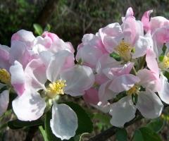Malus domestica Reinette Simirenko цветение