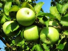 Apple tree Reinette Simirenko