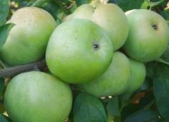 Яблуня домашня Симиренка