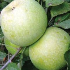 Яблоня домашняя Renet Simirenko