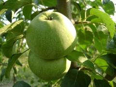 Яблуня домашня Reinette Simirenko