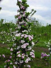 Apple tree Cоlumnar Ostankino