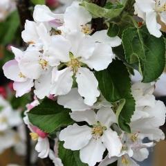 Яблуня Останкіно цвітіння