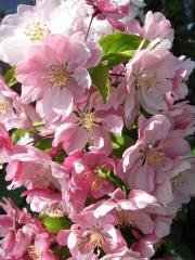Malus Ostankino цветение