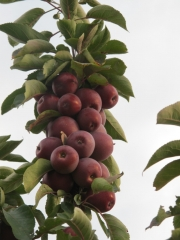 Яблоня Ostankino