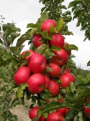 Яблуня Ostankino