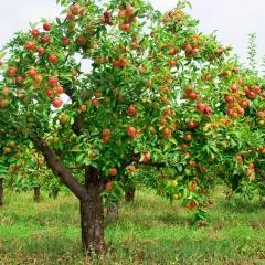 Яблоня домашняя Лигол