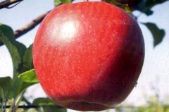 Яблуня Ligol