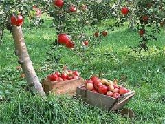 Яблуня Ліголь