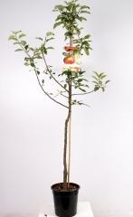 Apple tree Ligol саджанці