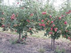 Яблуня домашня Лігол